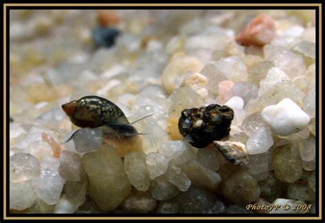 aquarium envahi d escargot oeuf d escargot