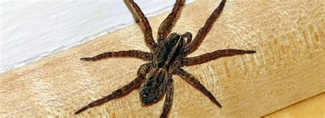 spider pest control frankston spider removal mornington
