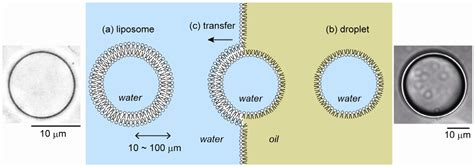 materials  full text cell sized liposomes