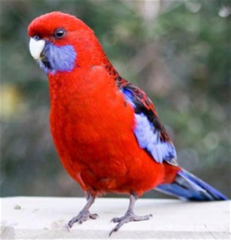 rosella personality food care pet birds  lafeber