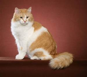 Image Gallery orange siberian cat