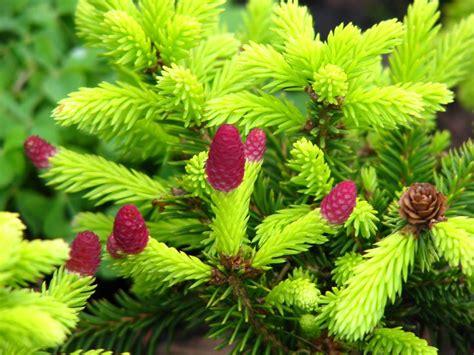 small conifer dwarf conifers car interior design