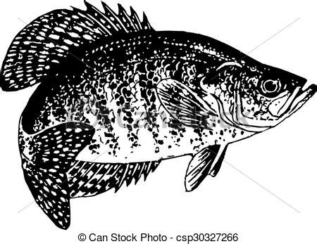 crappie vector drawn black  white vector  crappie