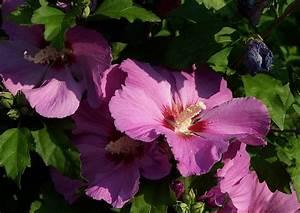 Wann Schneidet Man Hibiskus : hibiskus schneiden hibiscus syriakus roseneibisch eibisch ~ Lizthompson.info Haus und Dekorationen