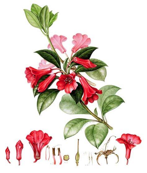 rhododendron viriosum