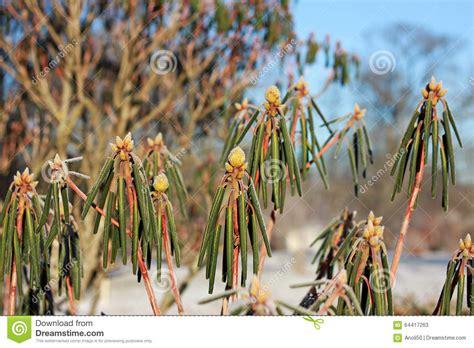 rhododendron en pot en hiver buissons de rhododendron en hiver photo stock image 64417263