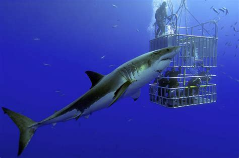 great white shark dive diving with great white sharks dive the world creature