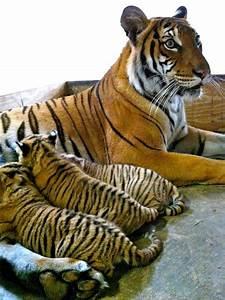 Endangered Tiger Cub Trio Born At Busch Gardens Tampa