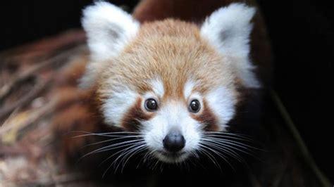 Morning Cup Of Links Red Panda Love Mental Floss