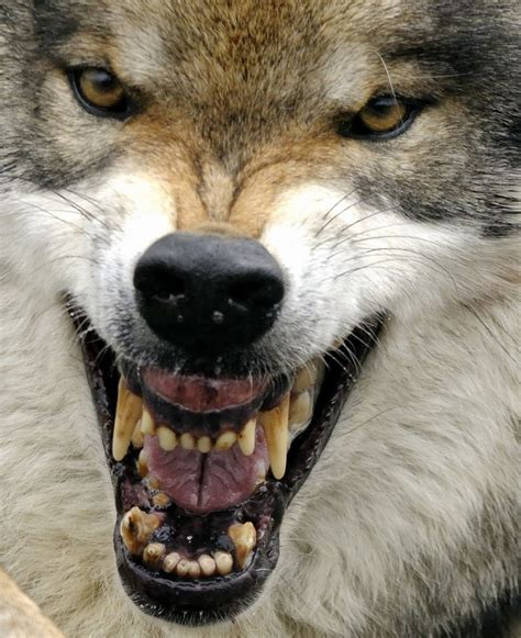 wolf facts animal facts encyclopedia