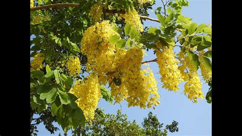 golden shower amazing and most beautiful golden shower tree golden