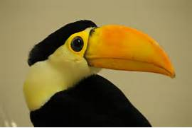 Baby Toco Toucan - 06   Flickr - Photo Sharing   Baby Toco Toucans
