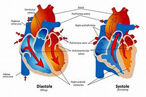 Phases Of The Cardiac Cycle When The Heart Beats