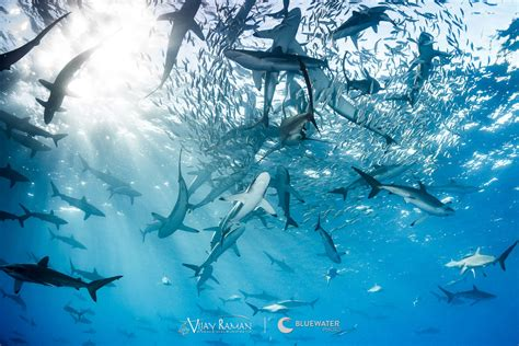 best shark diving in the world top 5 bluewater dive travel