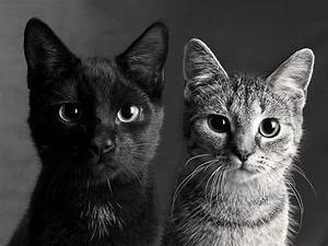 beautiful, black and white, cat, cats, cute, kittehs ...