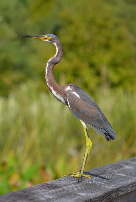 what color is heron yellow crowned heron wild4creatures