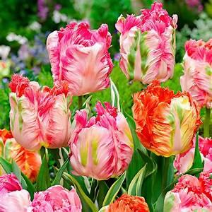 Tulpen Im Garten : g rtner p tschkes candy blush tulpen mischung online ~ A.2002-acura-tl-radio.info Haus und Dekorationen