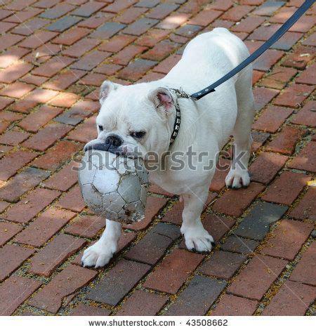 pug playing  soccer ball stock photo