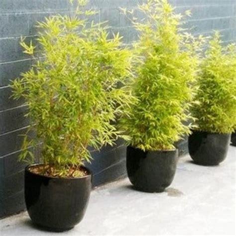 jual tanaman bambu kuning hp 085608566034