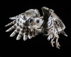 Eastern Screech Owl Nest Observations // Nature Friend ...