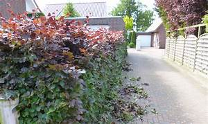 Darf Nachbar Meine Hecke Schneiden : wann soll man die hecke schneiden das gartenmagazin ~ Lizthompson.info Haus und Dekorationen