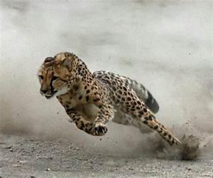 Vitesse Des Animaux : les 25 meilleures id es de la cat gorie vitesse guepard sur pinterest animaux gu pard voyage ~ Medecine-chirurgie-esthetiques.com Avis de Voitures