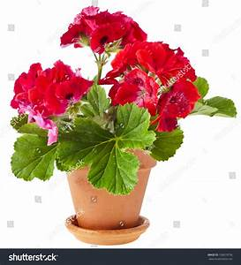 Red Geranium Flower Clay Pot Isolated Stock Photo ...