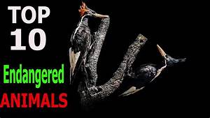 Top 10 Most Endangered Animals | Top 10 animals - YouTube