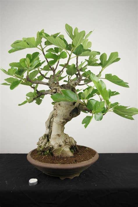 ficus carica bonsai bonsai bonsai garden bonsai
