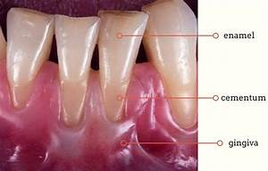 Discover The Structure Of Our Teeth