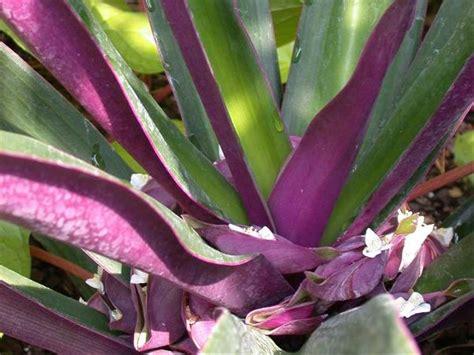 jual bibit tanaman obat nanas kerang rhoeo discolor