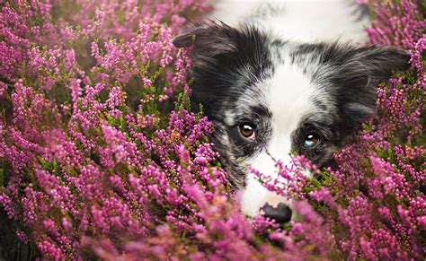 Animal Border Wallpaper - dogs border collie glance animals wallpaper 2047x1257