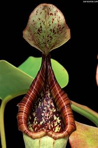 The Carnivorous Plant FAQ: Nepenthes
