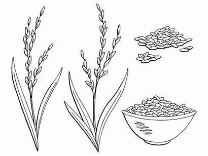 Rice Plant Sketch Clip Doodle Vegetables Drawn