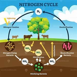 Nitrogen Cycle Vector Illustration