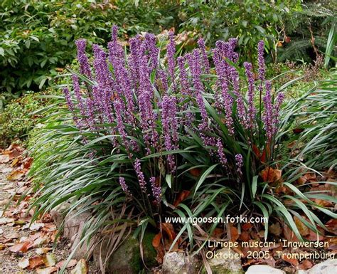 zone 10 shade plants liriope muscari ingwersen low maintenance plant does better in shade drought tolerant zone