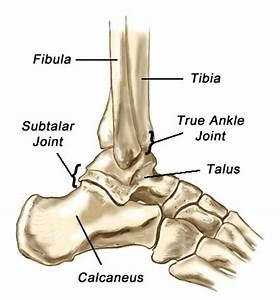 Image Gallery malleolus bone