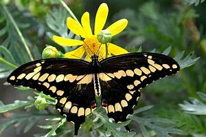 Edupic butterfly life cycle page for Swallowtail butterfly plants