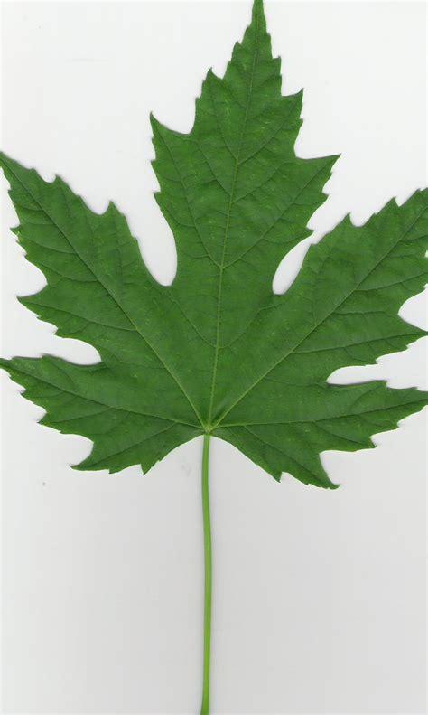 maple tree leaf file silver maple leaf jpg wikipedia