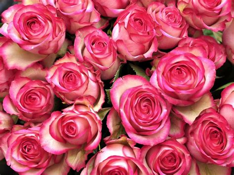 Download Free Pink Roses Flowers