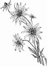 Daisy Coloring Flower Drawing Pages Line Drawn Margarita Draw Getdrawings Another Howtodrawit Daisy1 sketch template