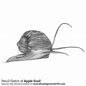 Apple Snail Pencil Drawing - How to Sketch Apple Snail ...