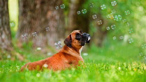 Boxer Dog Widescreen High Definition Wallpaper For