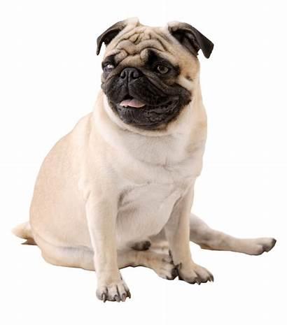 Dog Pug Transparent