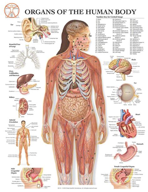Female Human Body Diagram Of Organs Projects To Try