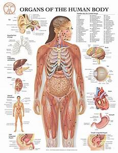 Organs Of The Human Body