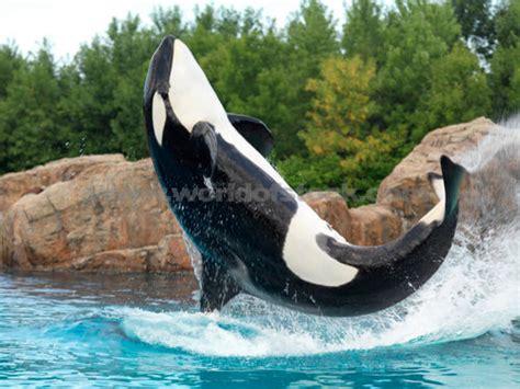 gallery orca jumping orca jumping
