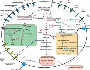 Solute Transport And Metabolic Pathways In T  Pallidum  A