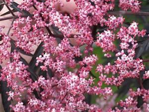 Schwarzer Holunder Black Beauty : schwarzer holunder 39 black beauty 39 sambucus nigra ~ Michelbontemps.com Haus und Dekorationen