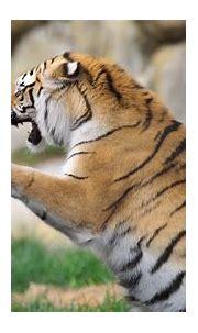 Tiger 4k Ultra HD Wallpaper   Background Image   3840x2160